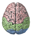 """Human Brain"" from Gutenberg Encyclopedia via MediaWiki Commons"