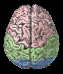 """Human Brain"" from Gutenberg Encyclopedia via MediaWiki Commons"